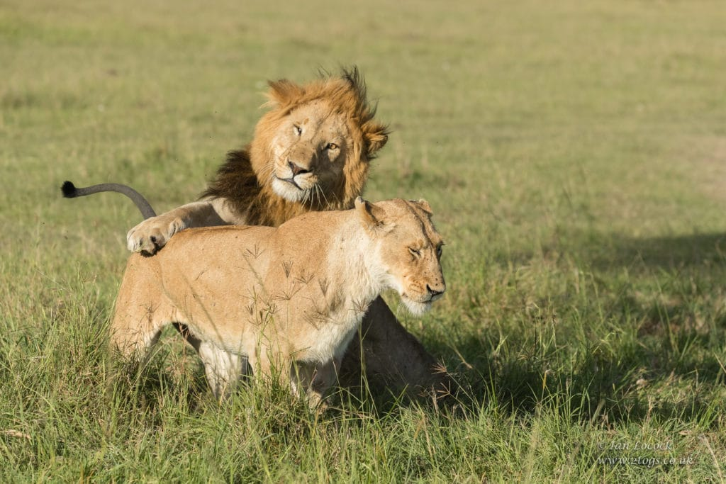 Male lion Chongo attempting to mate with a pride female on African Safaris in Kenya