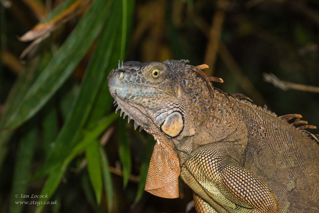 Website Works - Green Iguana portrait photographed at Iguana Bridge, Costa Rica