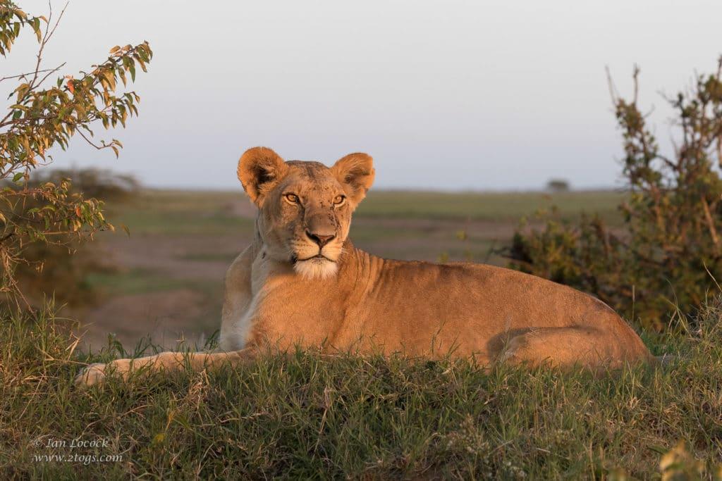 The First Hosted Safari - Beautiful female Lion Mdomo in the setting sun over Topi Plains in the Masai Mara