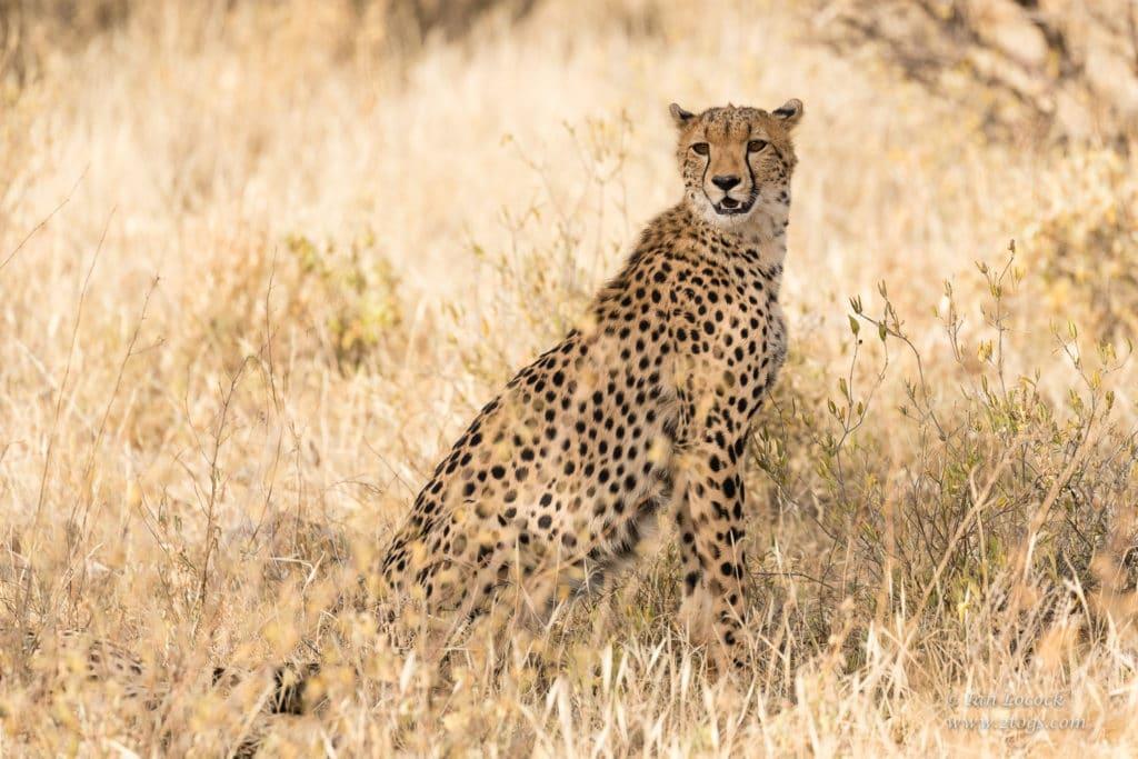 The First Hosted Safari - Female Cheetah in the long grass in Samburu, Kenya