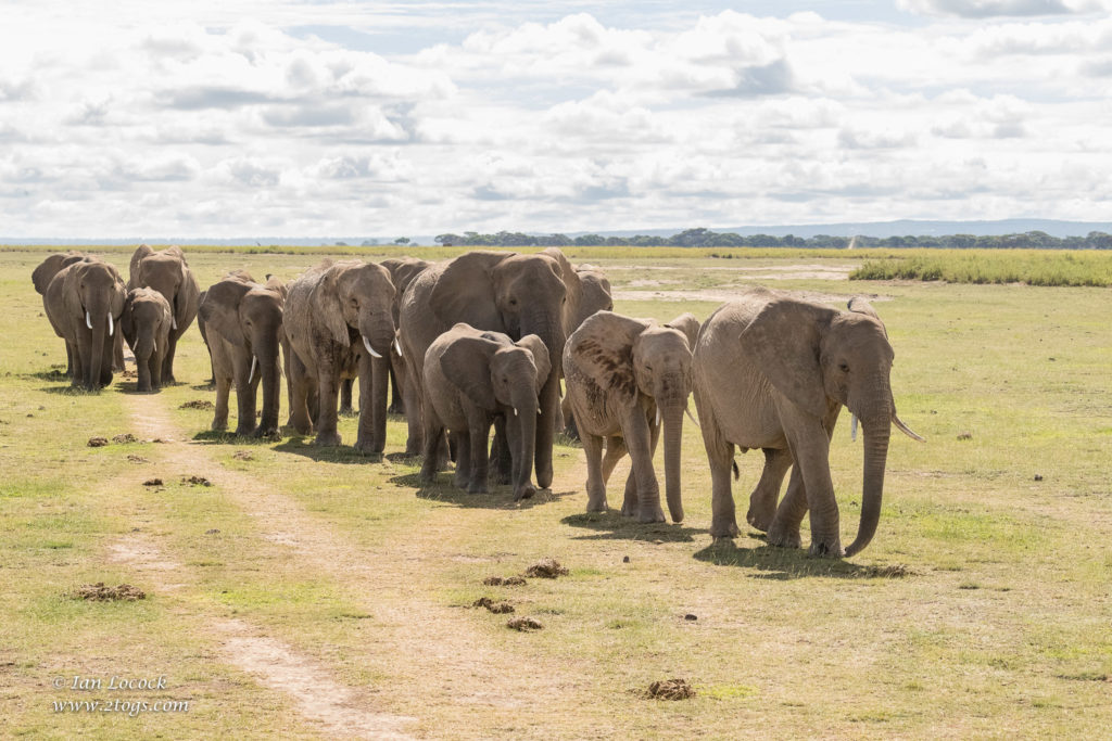Amboseli - Elephant herd heading to the marsh