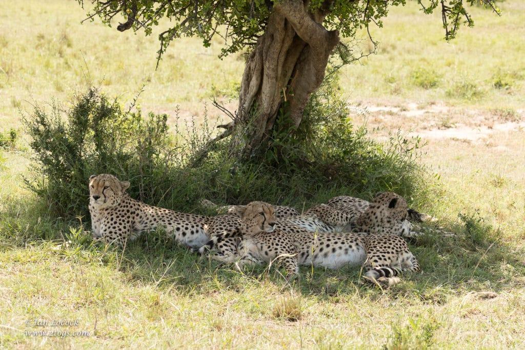 The Fast Five Resting in the Shade, Maasai Mara