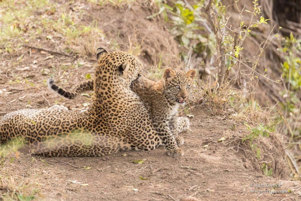 Kaboso and her cub - Maasai Mara 2019