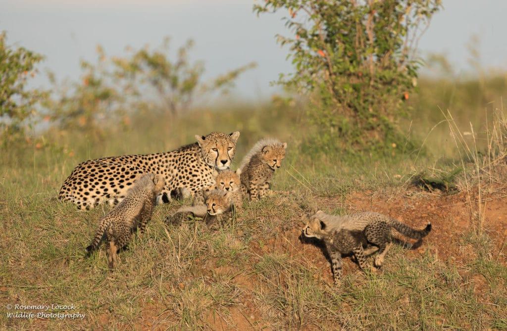 Siligi and five of her cubs - Maasai Mara 2019
