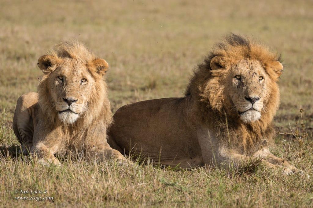 Kiok & Koshoke, Topi Plains Pride Males, Mara 2019