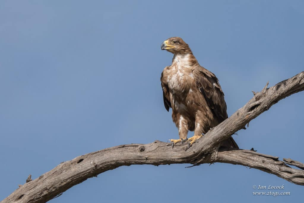 Tawny Eagle, Mara 2019