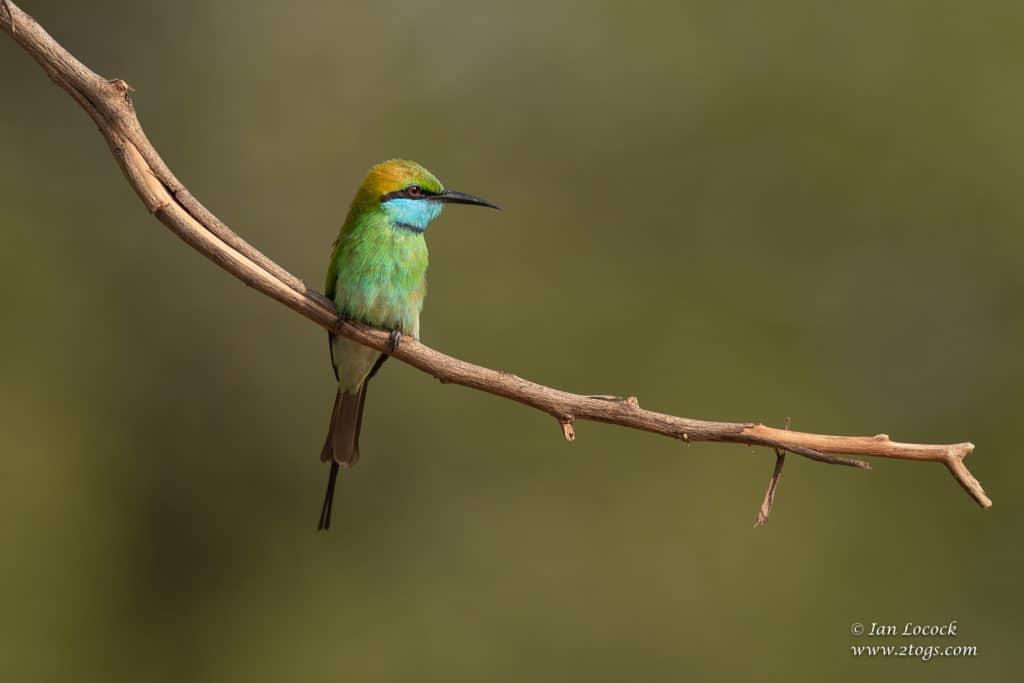 Green Bee-eater - Wasgamuwa National Park, Sri Lanka