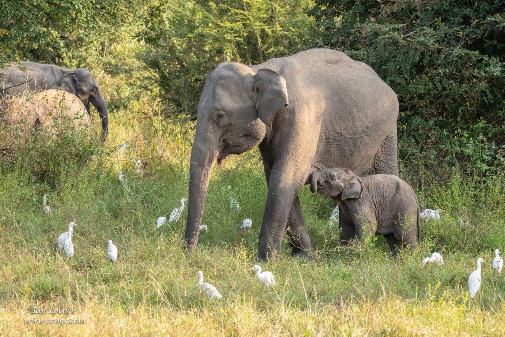 Elephant Calf Suckling Mum - Wasgamuwa National Park