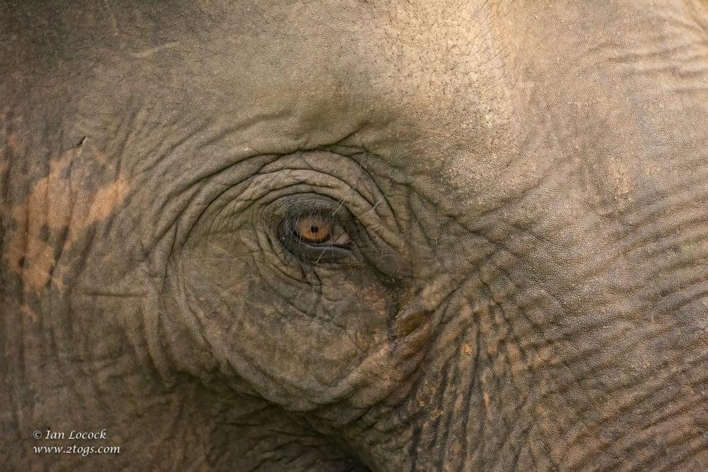 Elephant's Eye - Wasgamuwa National Park