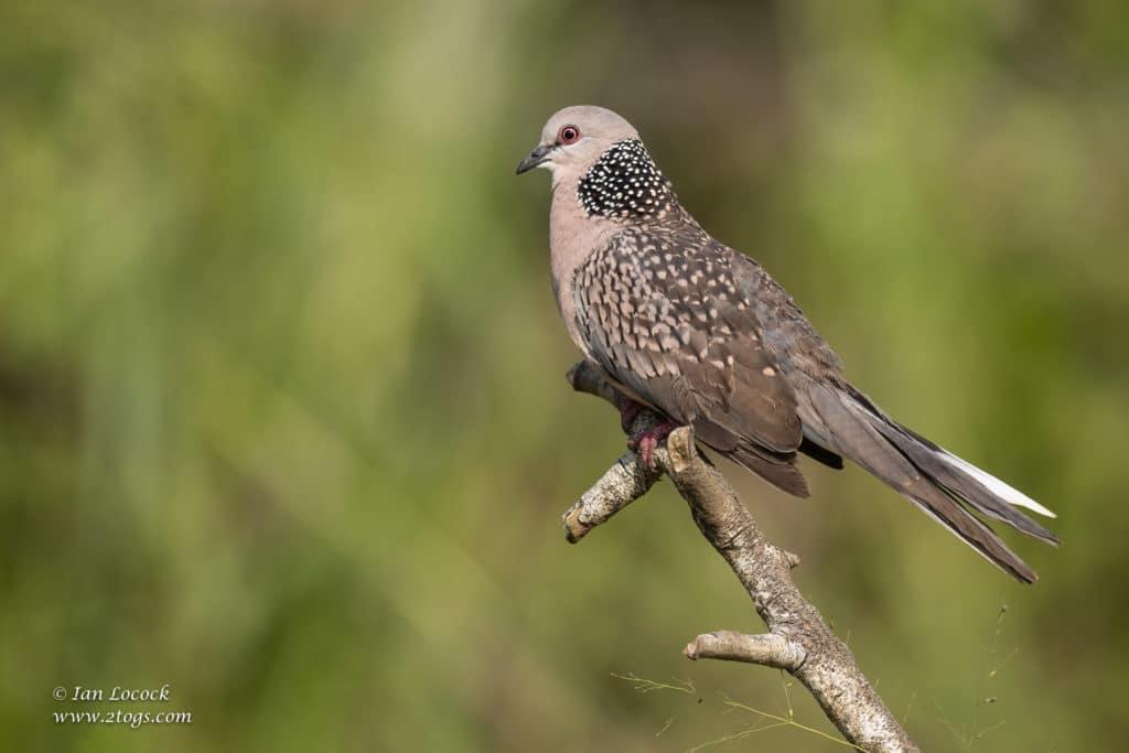 Spotted Dove - Wasgamuwa National Park