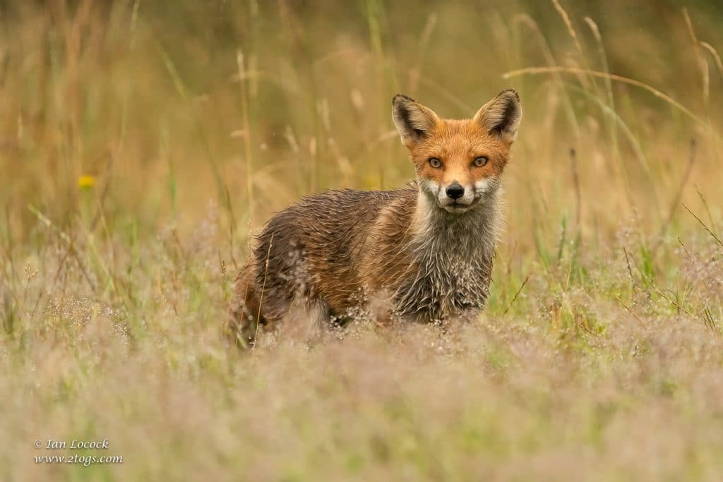 Red Fox - Buckinghamshire, UK