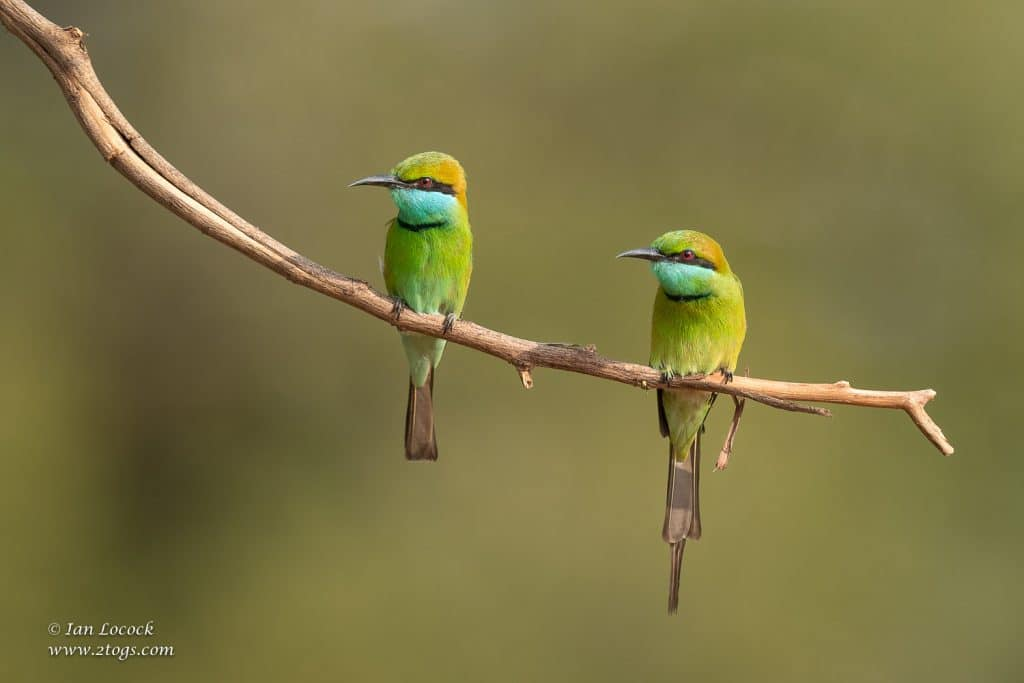 Green Bee-eaters - Sri Lanka