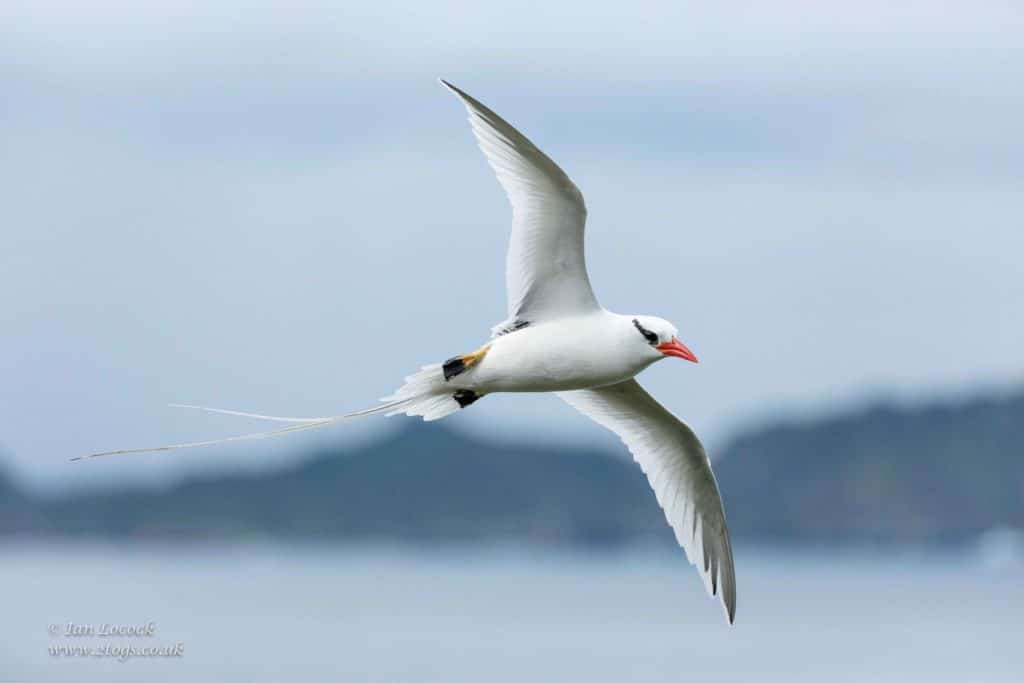 Contact - Red-billed Tropicbird circling over the cliffs in Little Tobago in the Caribbean
